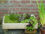 Rock Plants in Containers