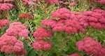 Sedums and other Early Autumn Flowing Plants