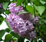 Common Lilac (Syringa vulgaris) and Other Late Spring Plants