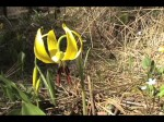 Growing Bulbs: Erythronium (Dog's Tooth Violet)