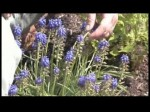Muscari (Grape Hyacinths)