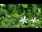 Zephyranthes: Zephyr Flower or Swamp Lily