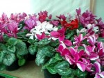 Growing Cyclamen in the Greenhouse