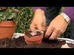 Bulbs for Window-Boxes and other Ornamental Containers