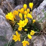 Growing Autumn-Flowering Bulbs: Sternbergia