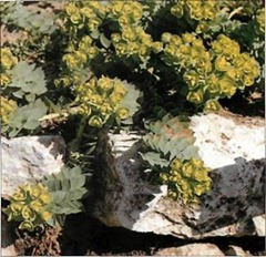 Alpine spurges are ideal plants for the dry stone wall, with a spreading growth habit that covers crevices.