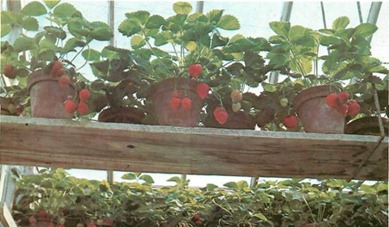 strawberry plants, put into a heated greenhouse in late winter, may bear ripe fruit by mid-spring
