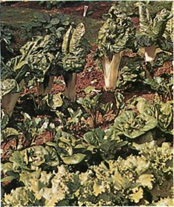 swiss chard is one of hte few dual-purpose vegetables - the leaves can be cooked and eaten like spinach, and the stems like asparagus - which they resemble in flavour