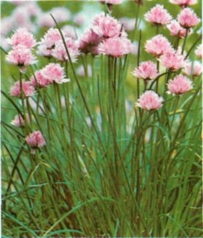 Chives grow best in a warm border with some shade. They make a good edging for a vegetable plot.