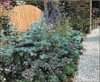 Dark blue columbines set off an eye-catching blue-leaved conifer which complements other blue flowers and shrubs.