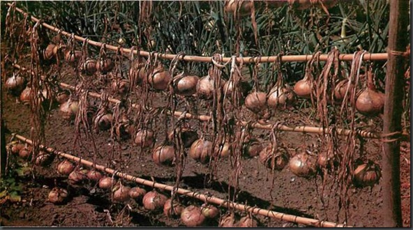 where onions have finished growing and are ready to be harvested, they need to be dried in the sun for a few hours. Hanging them in lines allows the wind to help this process.