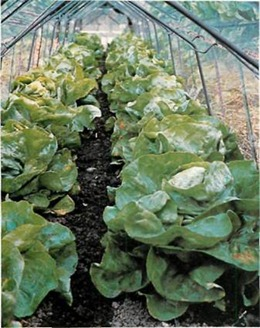 lettuces grow well in autumn if protected by cloches, such as these Chase barn cloches