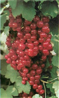 preparation for planting redcurrants is best done in mid-autumn if possible