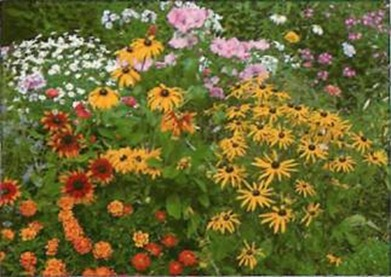 Coneflowers (Rudbeckia hirta) combine well with annuals such as French marigolds and perennial daisies.