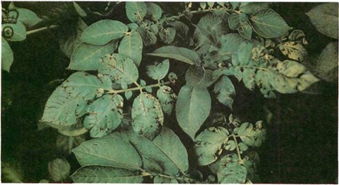 potato virus diseases can ruin the crop, if the haulm is infected, they are transmitted by aphids, but seed potatoes are certified clean. this is typical leaf-roll virus