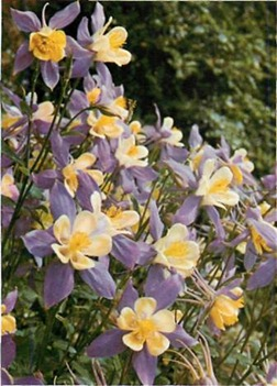 aquilegias grow wild in southern Europe. In gardens they are easily raised in sun or shade, in most soils