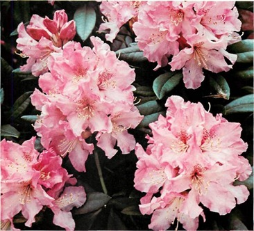 main flowering season for rhododendron is late spring, but it can extend to winter and late summer