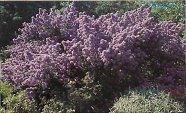 Ceanothus is unrivalled among shrubs for its flower colours, ranging from powder blue to indigo, depending on variety.