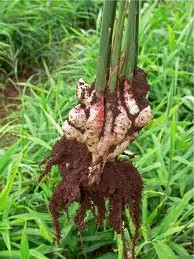growing ginger root