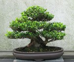 What is a Bonsai? Indoor or Outdoor?