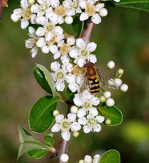 A male hoverfly (Syrphus cf. ribesii) on an un...