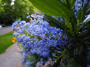 English: Blue flowers of the Ceanothus spp.
