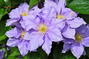 English: Purple clematis flowers in upstate Ne...