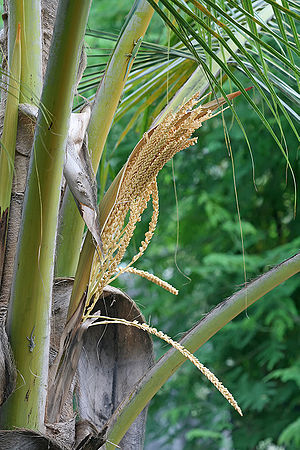 English: Coconut palm flowers