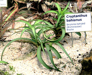 English: Plant Cryptanthus bahianus in Botanic...