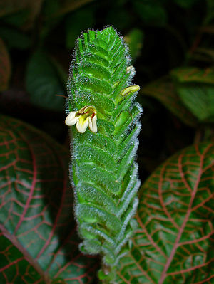 English: Fittonia albivenis, Acanthaceae, Nerv...