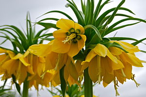 English: Yellow Crown Imperials (Fritillaria i...