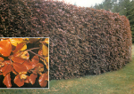 Guide to Garden Hedging