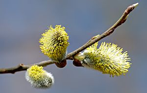 This image shows three male Willow (Salix) cat...